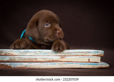 Chocolate labrador puppy lying on the colored boards. Brown background