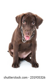 Chocolate labrador puppy on a brown background