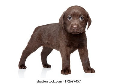Chocolate Labrador puppy on white background