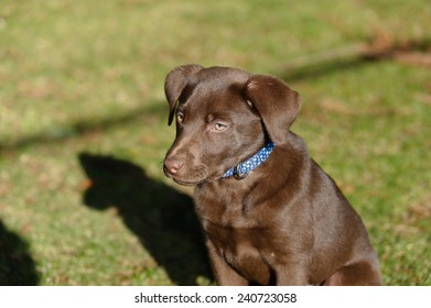 Chocolate Labrador puppy playing in the park.
