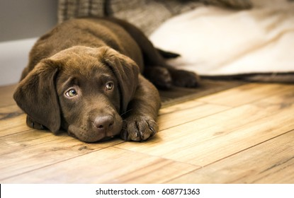 Chocolate Labrador Puppy Resting on Wood Floor