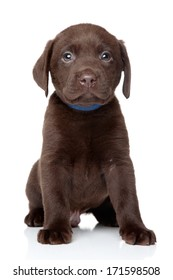 Chocolate Labrador puppy sits on white background