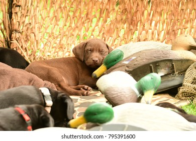 Chocolate Labrador puppy a sleep on a mallard decoy in a duck blind