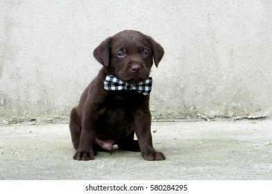 Chocolate Labrador puppy wearing bow tie
