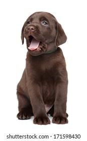 Chocolate Labrador puppy yawn on white background