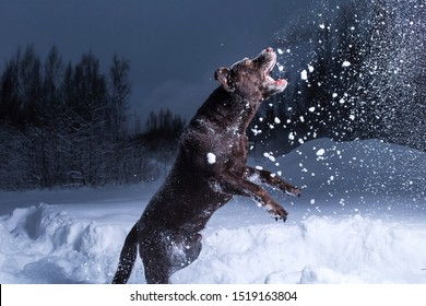 Chocolate labrador retriever dog jumping and eating in the snow in air