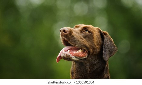 Chocolate Labrador Retriever dog outdoor portrait with green background