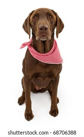 A chocolate Labrador retriever dog with a red and white checkered scarf isolated on white