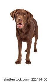 Chocolate labrador retriever dog standing and looking forward towards the camera