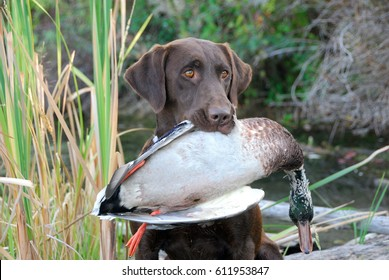 Chocolate Labrador Retriever with a Duck
