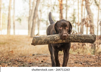 chocolate labrador retriever holding a stick in his mouth in the forest on the background