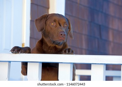 Chocolate Labrador Retriever at house entrance, standing up, watching