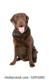 chocolate Labrador retriever isolated on a white background
