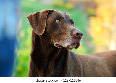 Chocolate Labrador Retriever outdoor portrait with colorful background