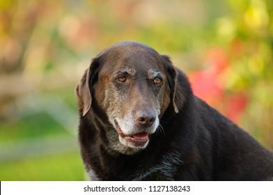 Chocolate Labrador Retriever outdoor portrait