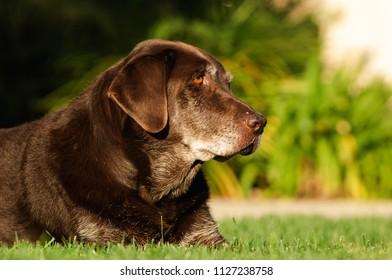 Chocolate Labrador Retriever outdoor portrait lying in grass