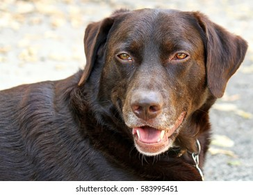 Chocolate Labrador Retriever posing in park for the camera on a chilly, winter day
