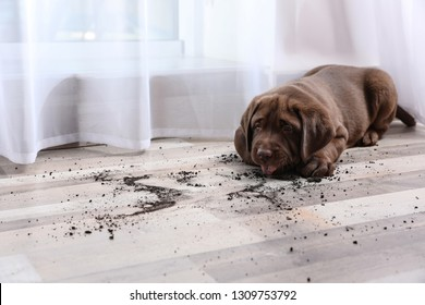 Chocolate Labrador Retriever puppy and dirty spots on floor indoors