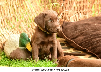 Chocolate Labrador  Retriever Puppy in a duck blind with mallard decoys