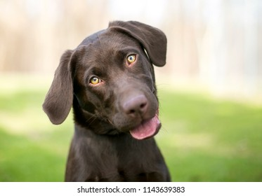 A Chocolate Labrador Retriever puppy listening with a head tilt