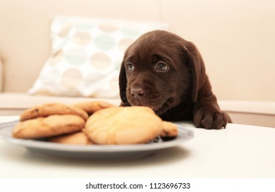 Chocolate Labrador Retriever puppy near plate with cookies indoors