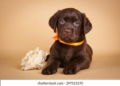 Chocolate Labrador Images, Stock Photos & Vectors   Shutterstock