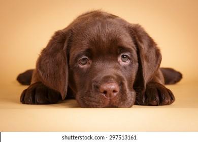 Chocolate labrador retriever puppy with sad eyes lying on tan background studio photo