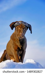 Chocolate Labrador Retriever puppy wearing Goggles, sitting on top of snowbank.