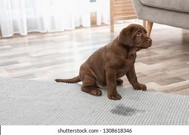 Chocolate Labrador Retriever puppy and wet spot on carpet indoors