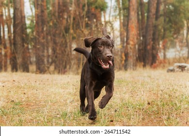 chocolate labrador retriever running in the forest on the background