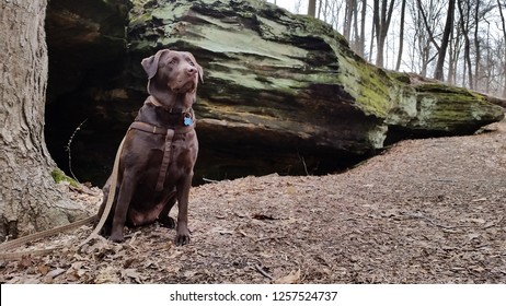 A chocolate labrador retriever sits obediently next to a tree by a moss-covered rock formation in a park on a cloudy day in autumn.