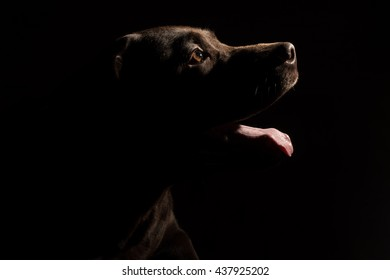 Chocolate Labrador retriever sitting in front of black background