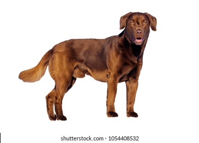 Chocolate Labrador Retriever , young male standing, on white background