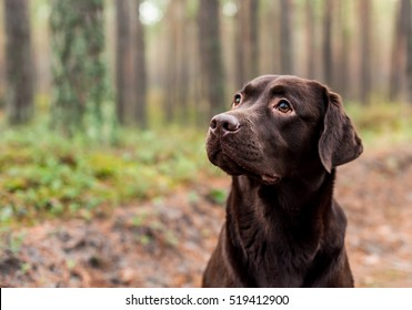 Chocolate labrador sitting in the forest