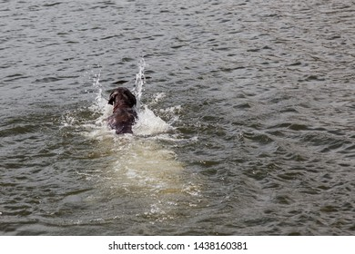 A chocolate labrador splashes as he swims out into Sylvan Lake to fetch a stick and bring it back to the shore.