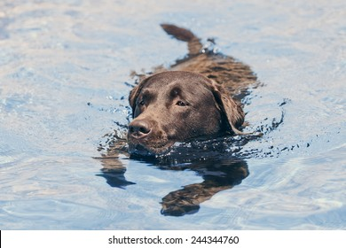 Chocolate Labrador Swimming