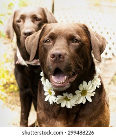 chocolate Labradors and daisy collars