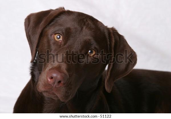 Chocolate Labroador