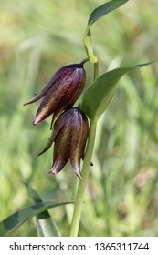 Chocolate Lily in Santa Rosa Plateau Ecological Reserve, CA