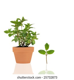Chocolate mint herb growing in a terracotta pot with a specimen leaf sprig and reflection over white background.