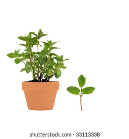 Chocolate mint herb growing in a terracotta pot with leaf sprig, isolated over white background.