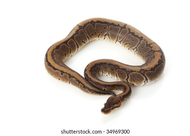 chocolate pinstripe ball python (Python regius) isolated on white background.