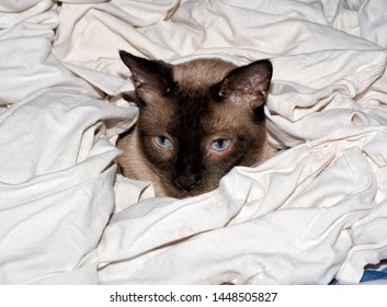 Chocolate point Siamese cat in a freshly washed pile of white shirts, Mom's best helper and supervisor