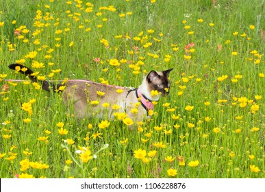 Chocolate point Siamese cat in harness and leash, on an adventure outdoors in the middle of wildflowers