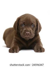 Chocolate puppy of breed Labrador on a white background.
