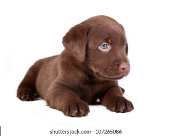 chocolate puppy labrador is lying on the white