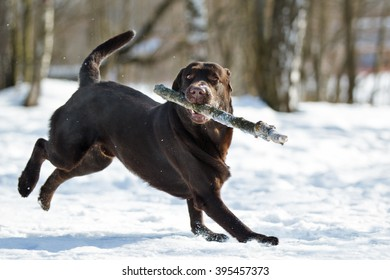 Chocolate purebred labrador retriever dog on the snow in winter outdoor having fun playing running with stick