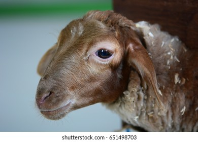 Chocolate sheep portrait