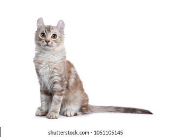 Chocolate silver tortie tabby American curl cat / kitten sitting side ways isolated on white background