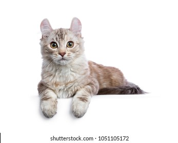Chocolate silver tortie tabby American curl cat / kitten laying down with paws hanging over edge isolated on white background